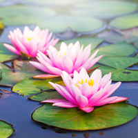 Paquelet Falk Funeral Home Obituaries Image with Water Lilies
